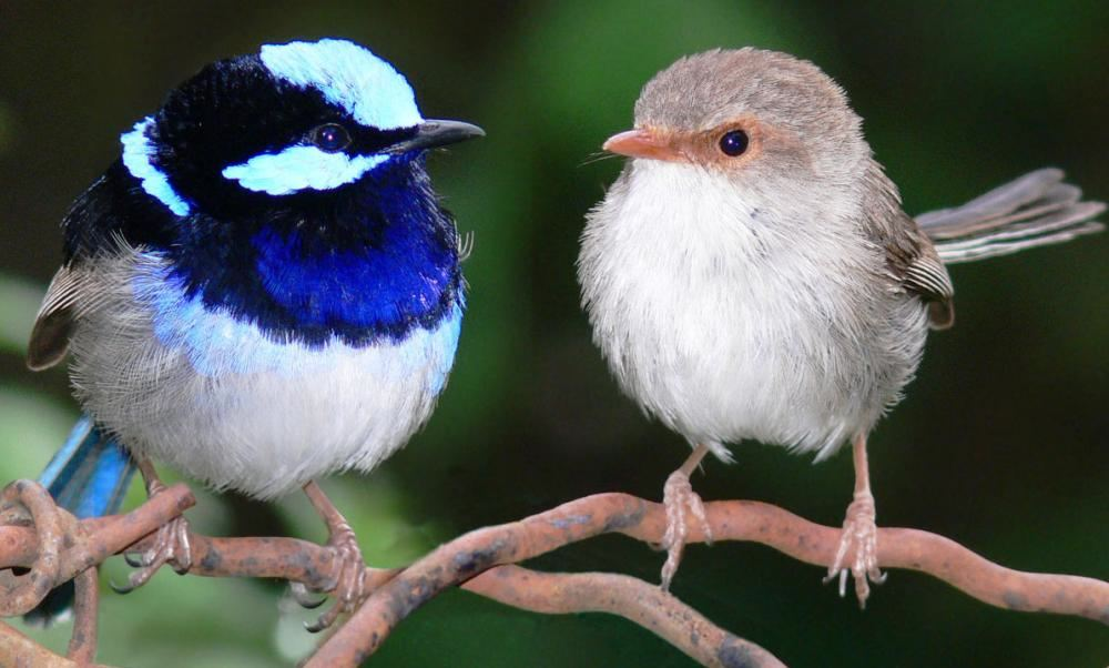 Fairy-Wrens-Photo
