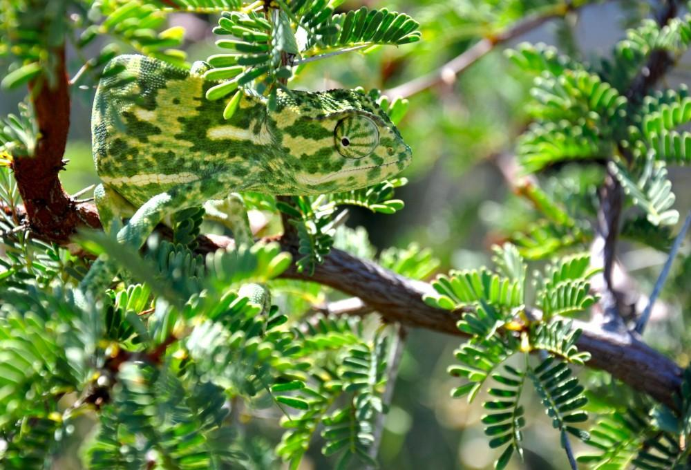 chameleon-camouflage-photograph