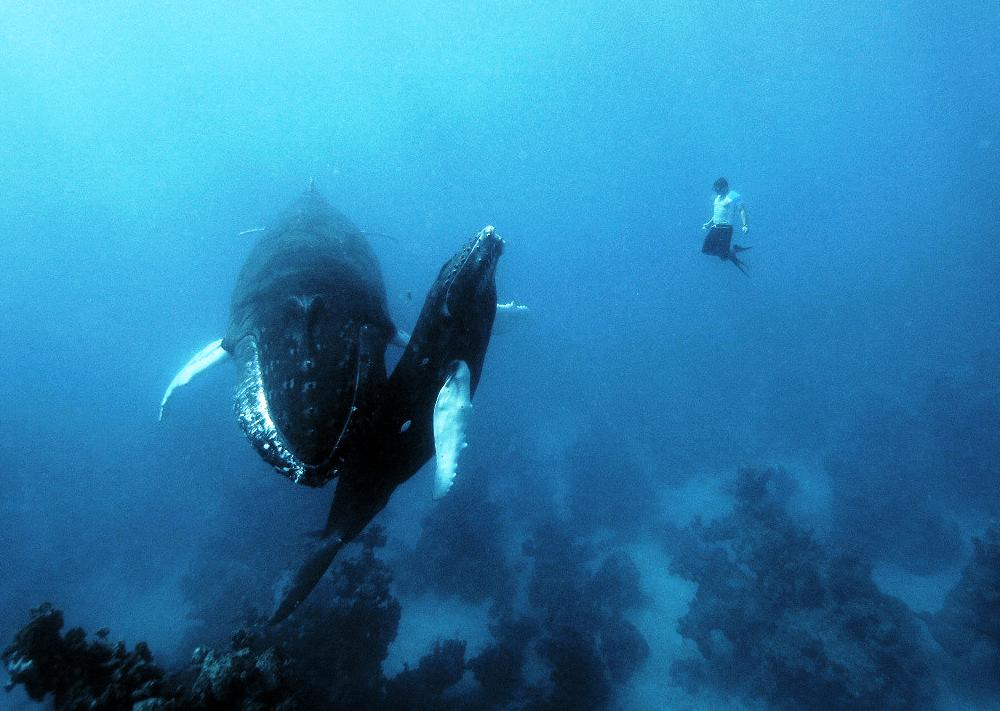 Free Diving Whales Photo