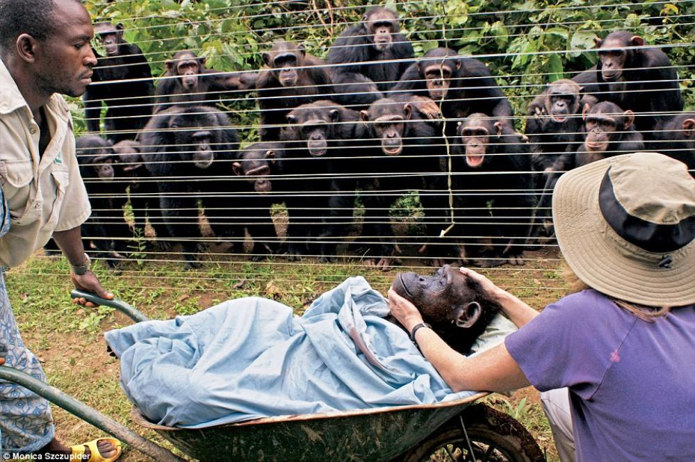 Melancholy Chimpanzees In Mourning