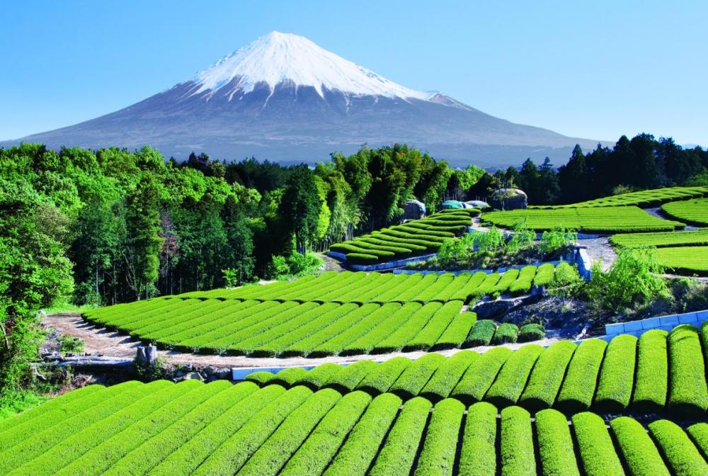 Tea Gardens In Front Of Mount Fuji Photograph