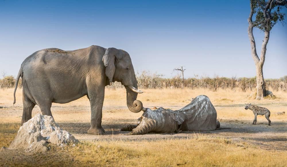 elephant-mourning-photograph