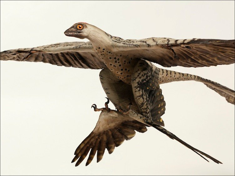 Picture Of A Microraptor