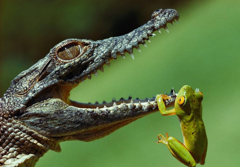 Crocodile And Frog
