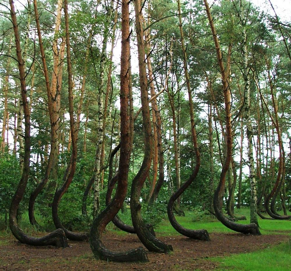 crooked forest poland Polands Cool Crooked Forest