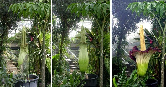 Flowering Titan Arum Peculiar Plants