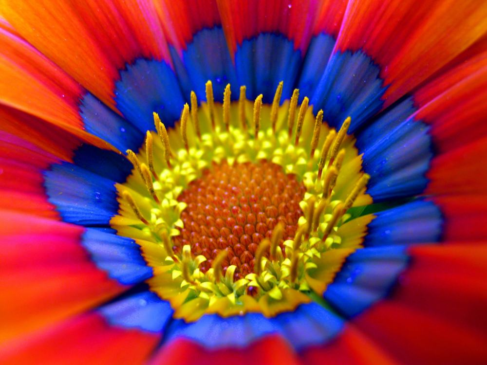 gazania flower photograph The Glowing Gazania Flower