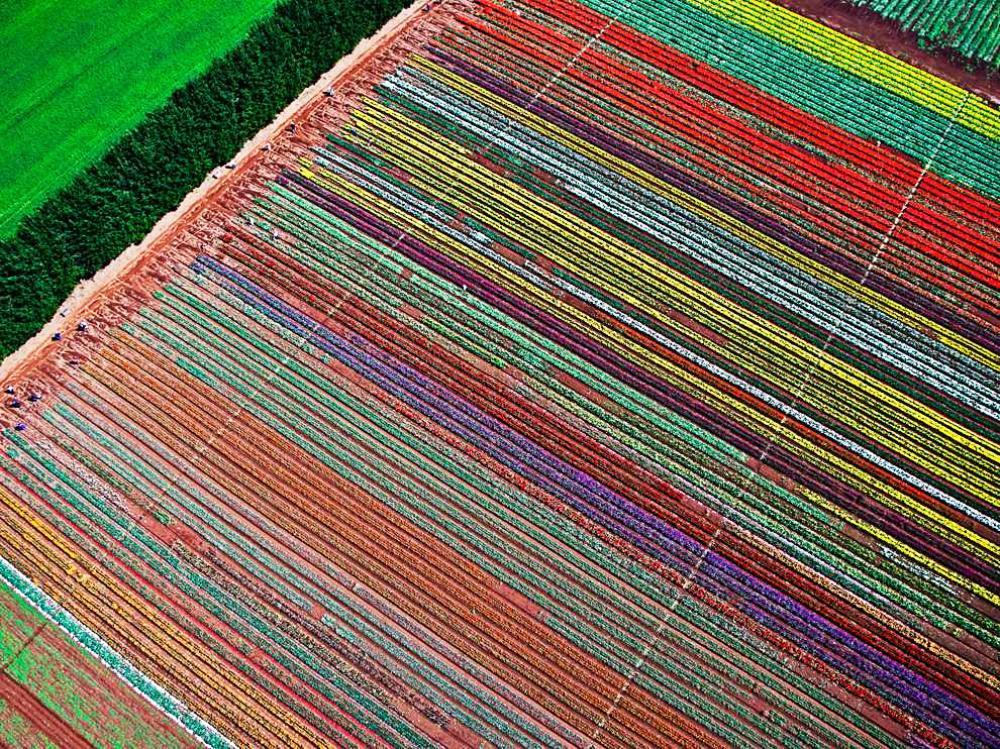 A Tulip Farm