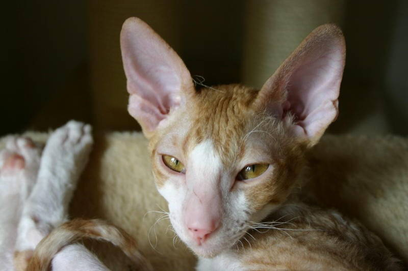 Ugliest Cats Cornish Rex Cat