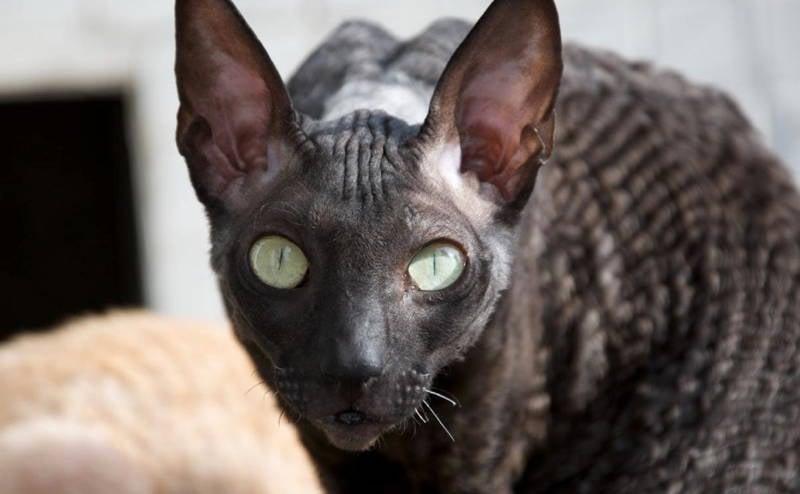 Ugly Cat Breeds Cornish Rex Cat Picture