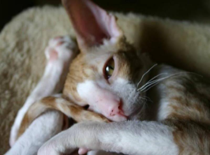 Cornish Rex Ugliest Cat Breeds