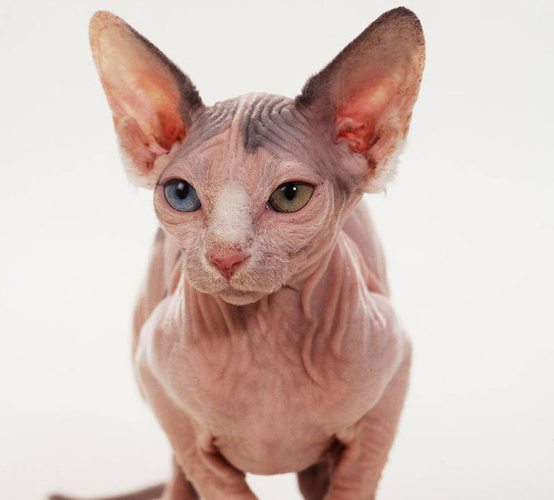 Ugliest Cats Minskin Cat