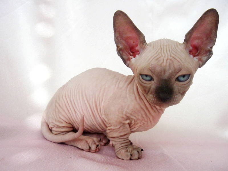 Ugliest Cat Breeds In The World