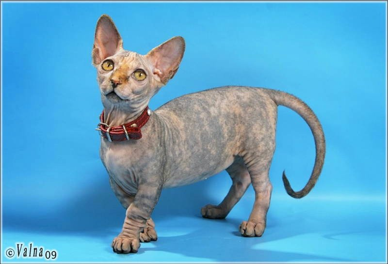 Minskin Photograph Ugliest Cat Breeds