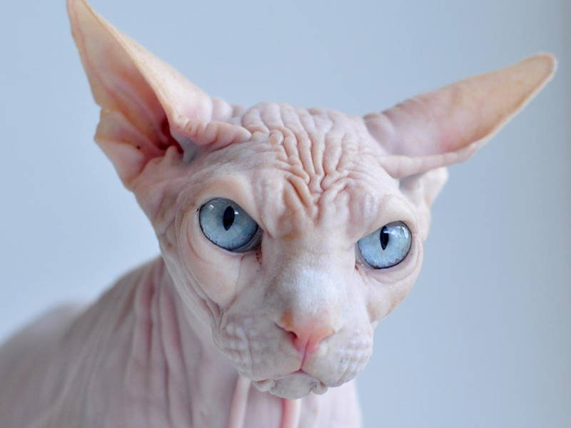 Ugliest Cats Sphynx Cat