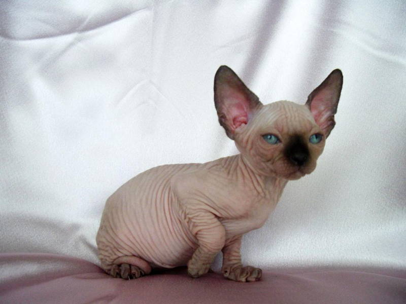 Ugliest Cats In The World Sphynx Cat