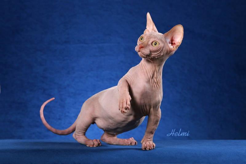 Sphynx Cat Photograph