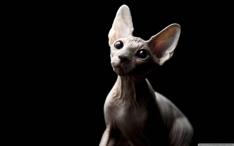 Ugliest Cat Breeds In The World Sphynx Cat