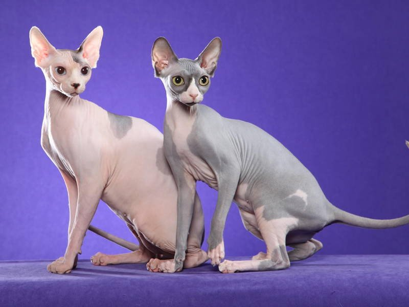 Sphynx Cat Picture