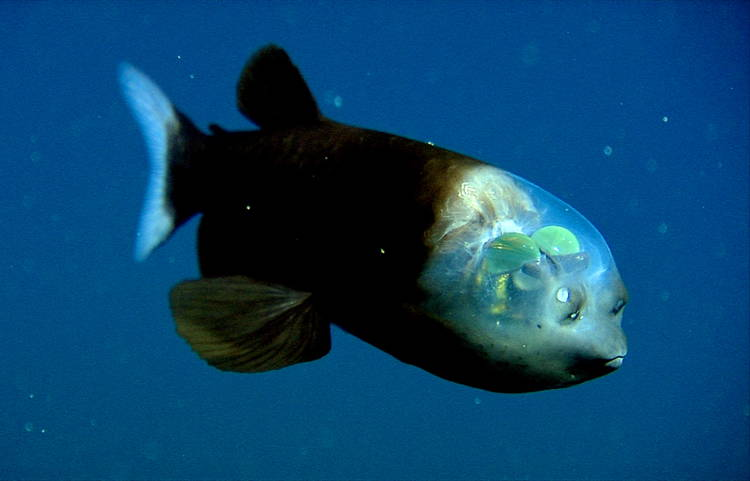 Transparent Animals Barrel Eye Fish