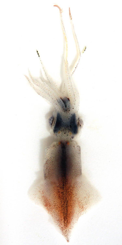 Bioluminescent Animals Firefly Squid