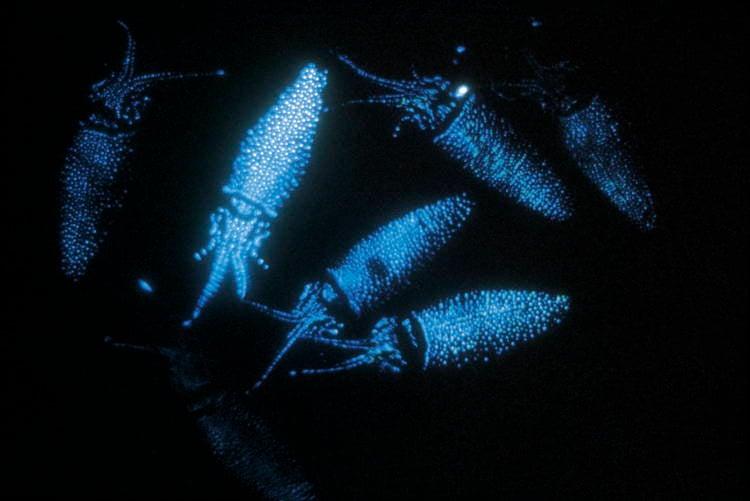 Firefly Squid Bioluminescence