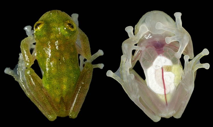 Glass Frog Transparent Animals