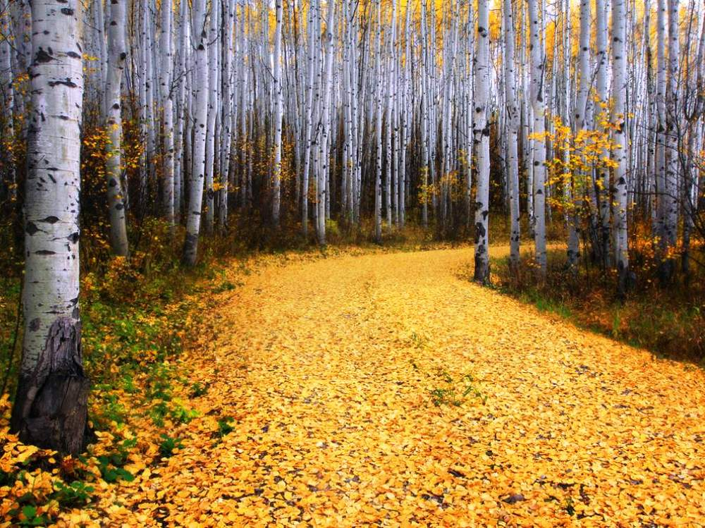 Colorado's Aspen Forest