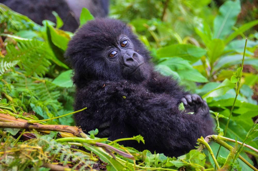 A Baby Gorilla In Rwanda