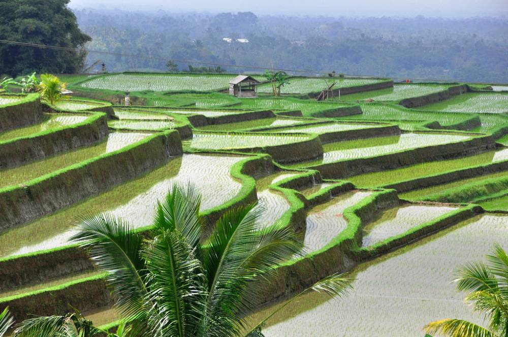 bali rice fields Balis Beautiful Rice Fields