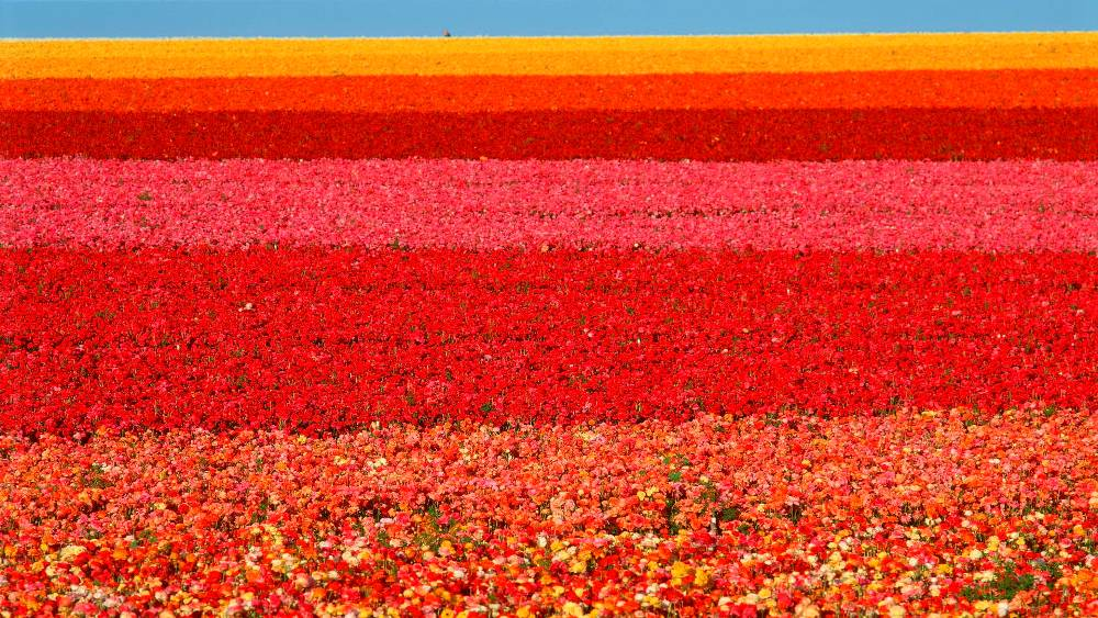 San Diego Ranunculus Field