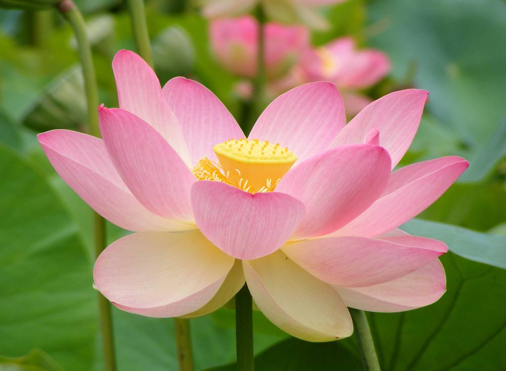 A Photo Of A Sacred Lotus