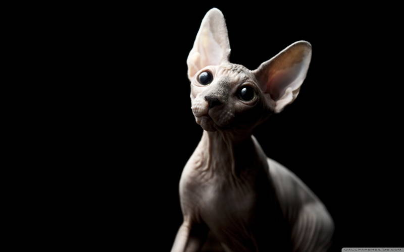 ugly-cat-sphynx