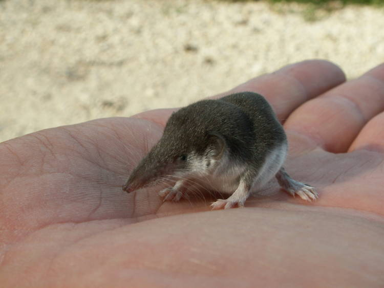 The Tiny Etruscan Pygmy Shrew