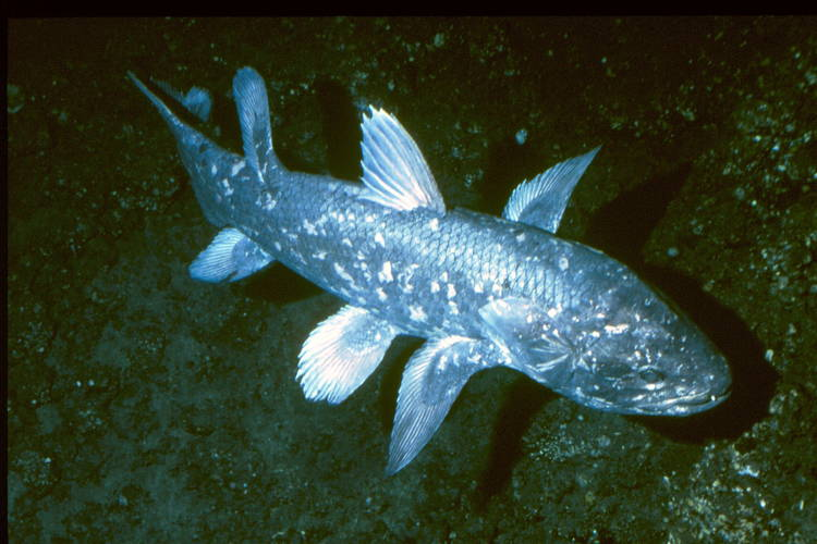 Living Fossils Coelacanth
