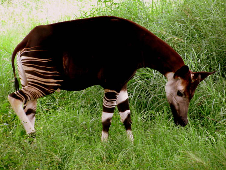 Okapi Incredible Living Fossils