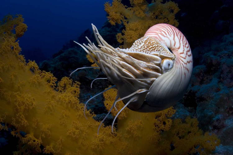 Living Fossils Chambered Nautilus