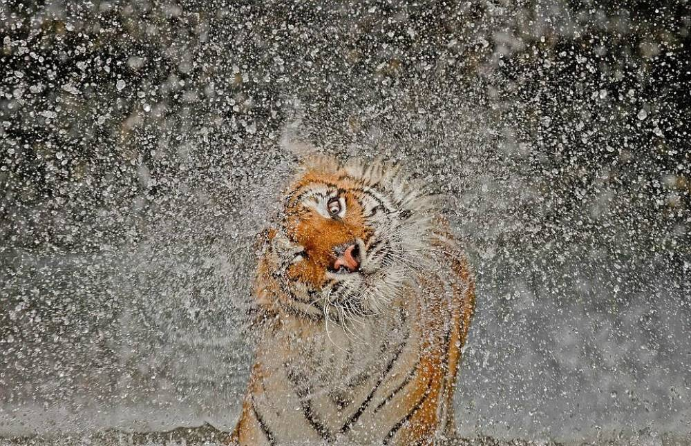 Chinese Tiger Shaking Water