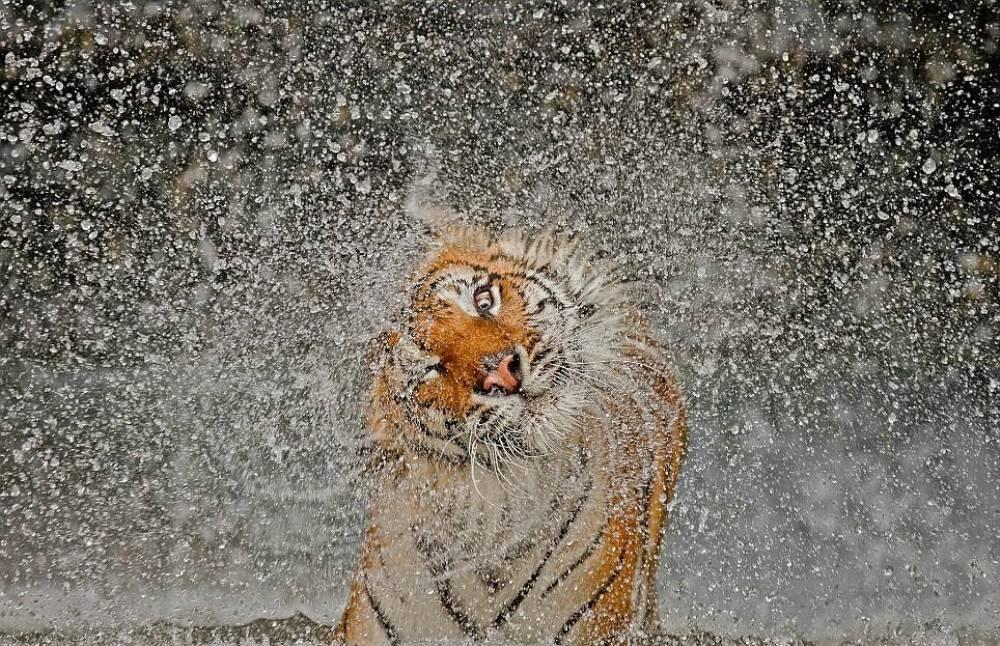 Chinese Tiger Shaking Water