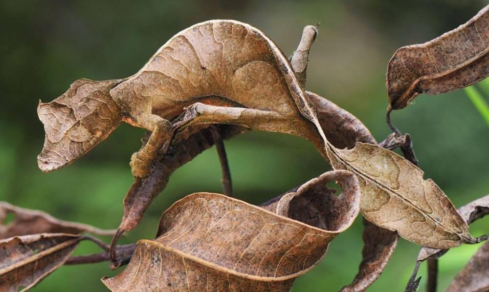 A Leaf Tailed Gecko