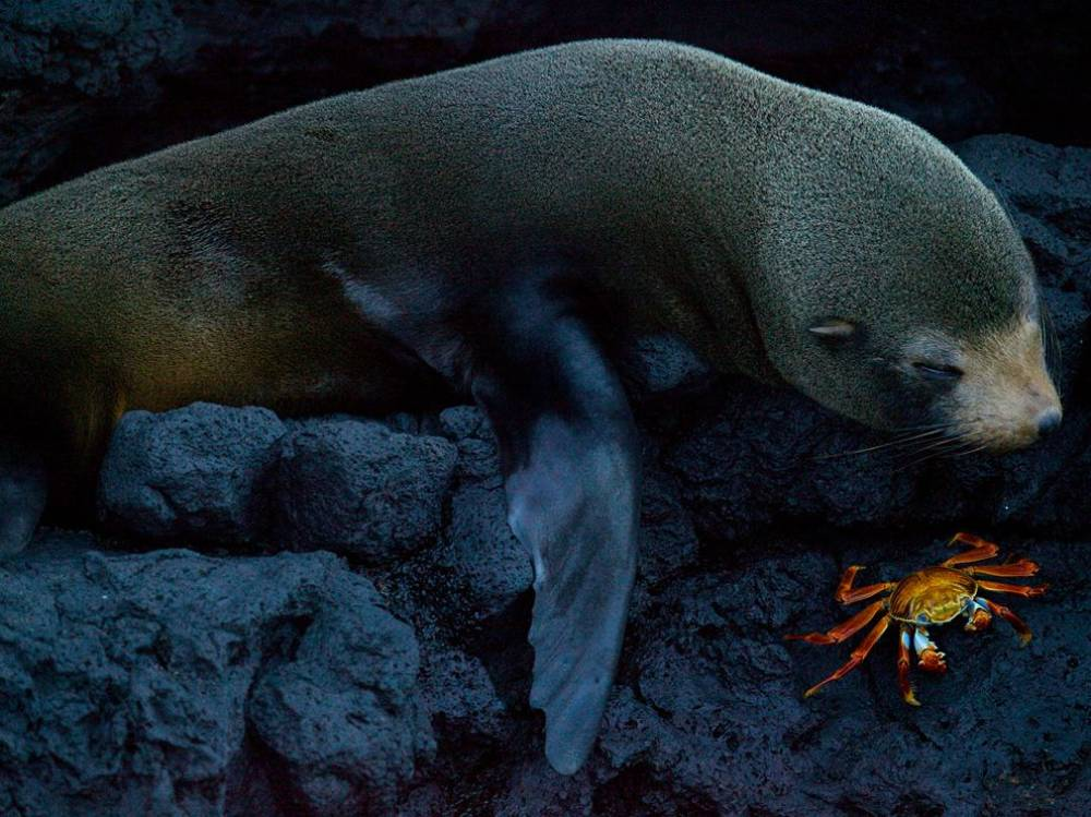 A Seal Eating A Crab On The Galapagos