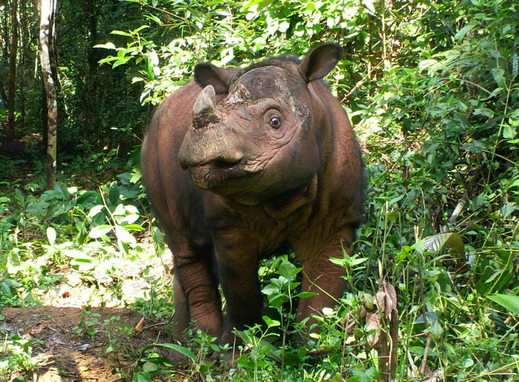 Living Fossils Sumatran Rhino