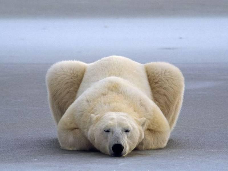 National Geographic Photo Polar Bear