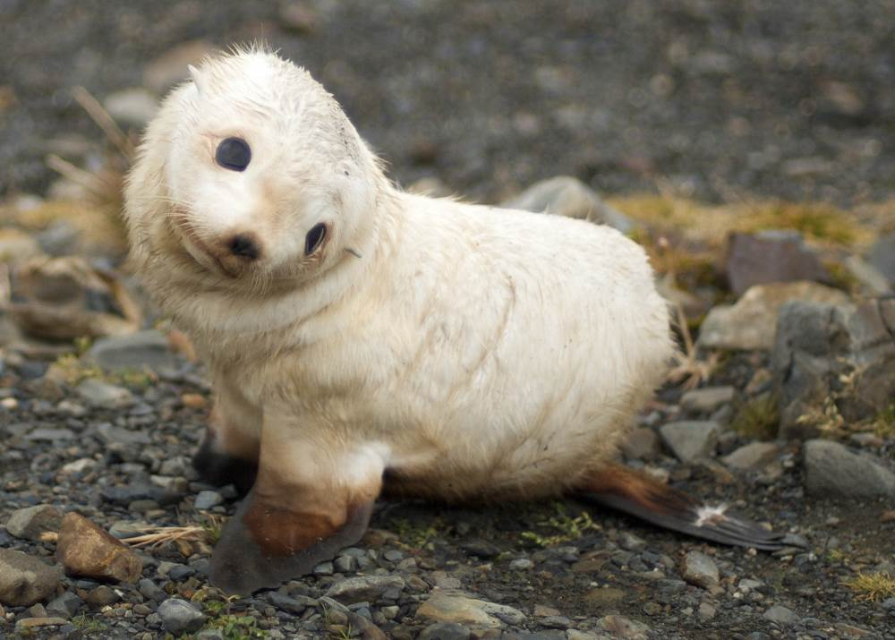 Source: Wikipedia Commons, http://commons.wikimedia.org/wiki/File:Baby_fur_seal,_South_Georgia.jpg