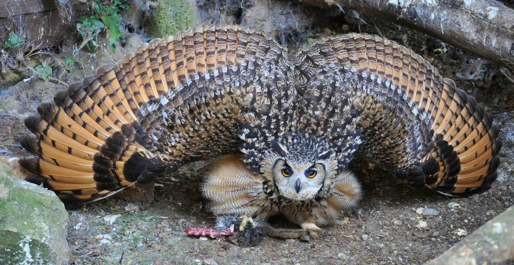 Bengal Owl Mantling