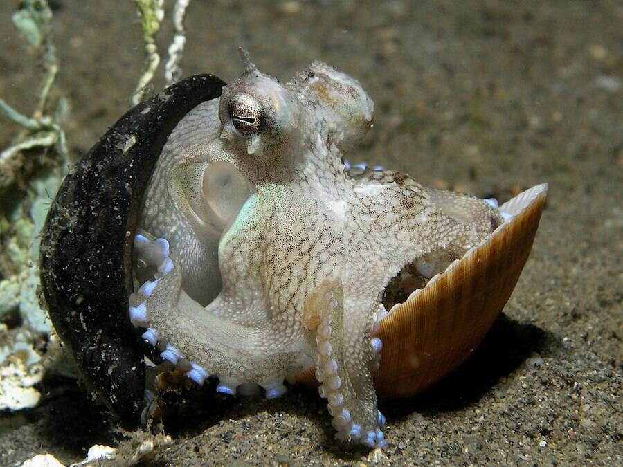 Coconut Octopus Hides In Shell