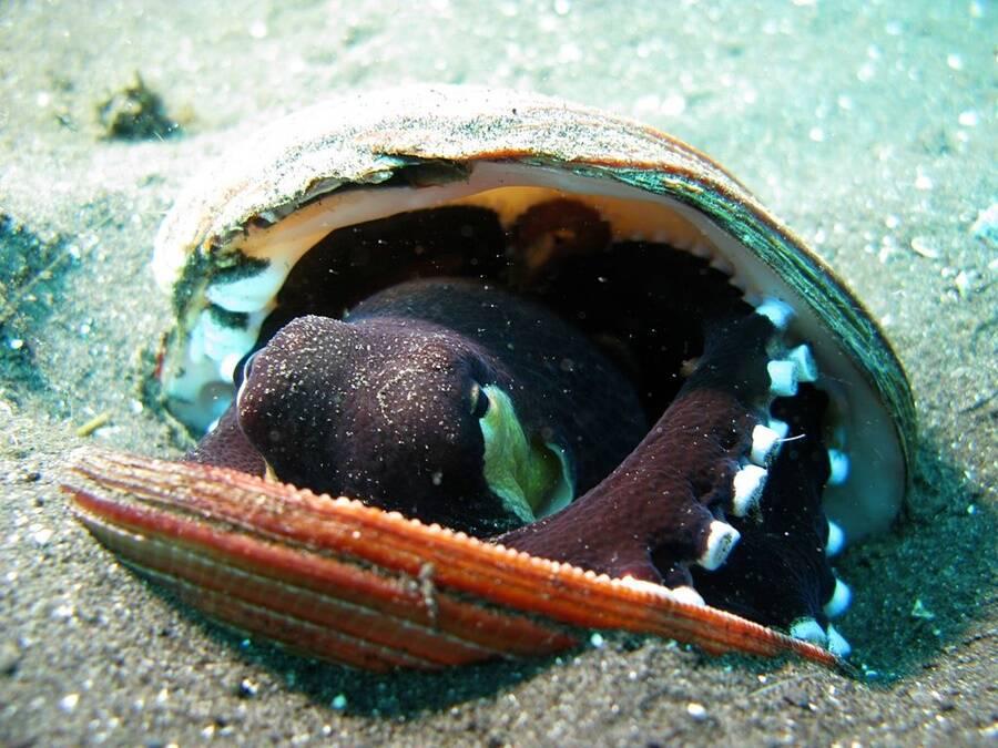 Coconut Octopus Inside Sea Shell