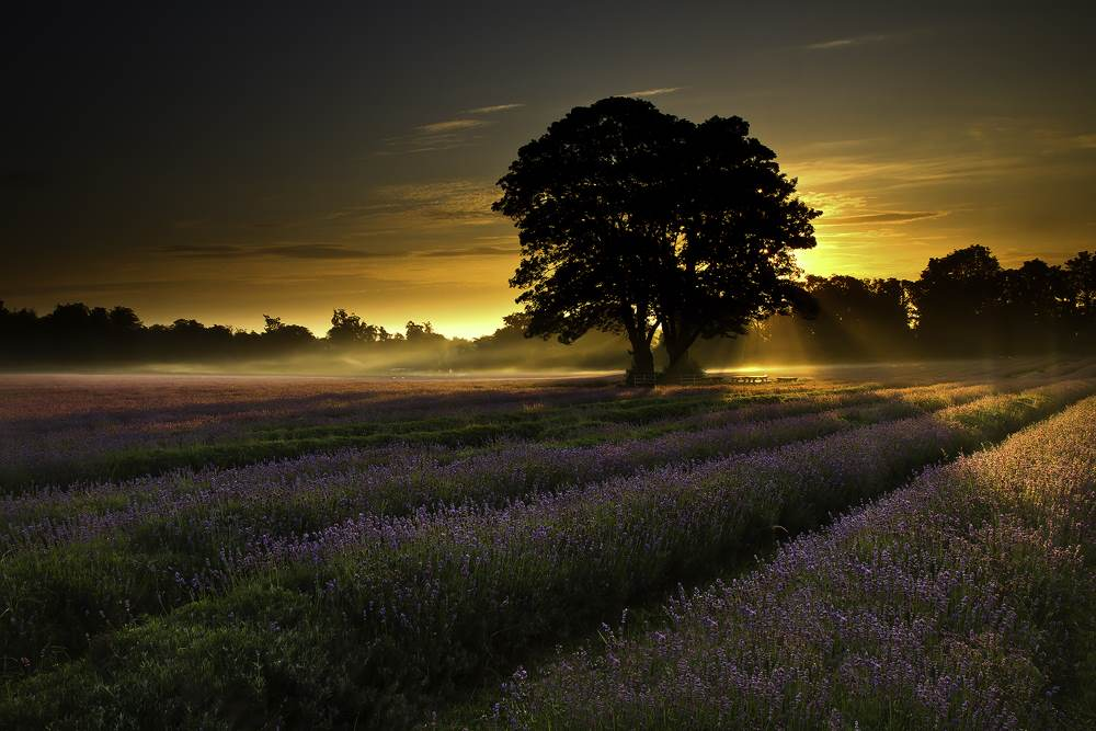 Lavender Fields Sunrise