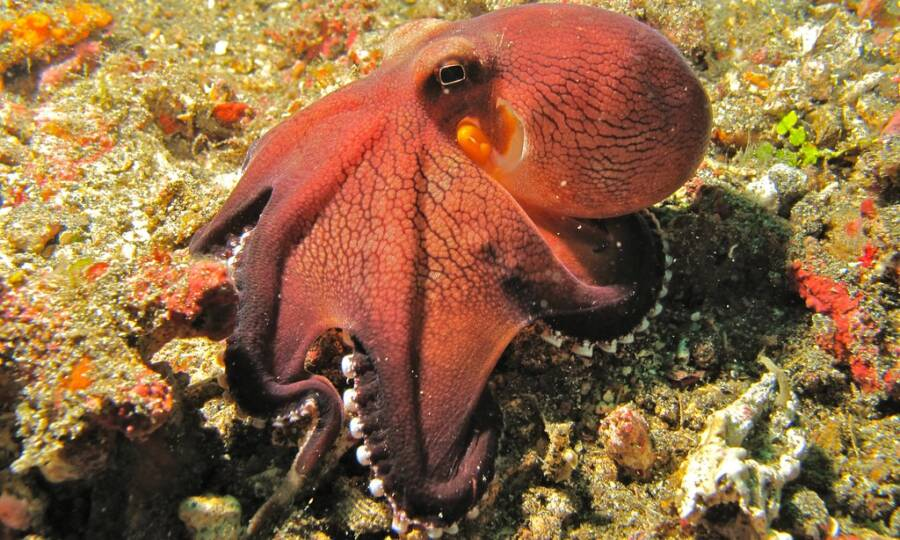 Pink Coconut Octopus