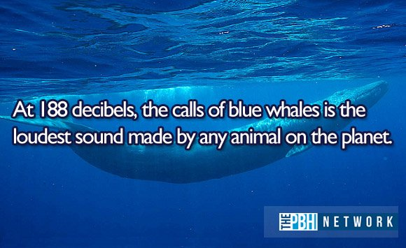 amazing facts ocean animals blue whales